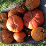 Pumpkins are everywhere!