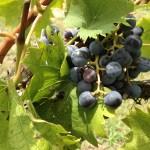 Grapes at the Pizzadili Vineyard