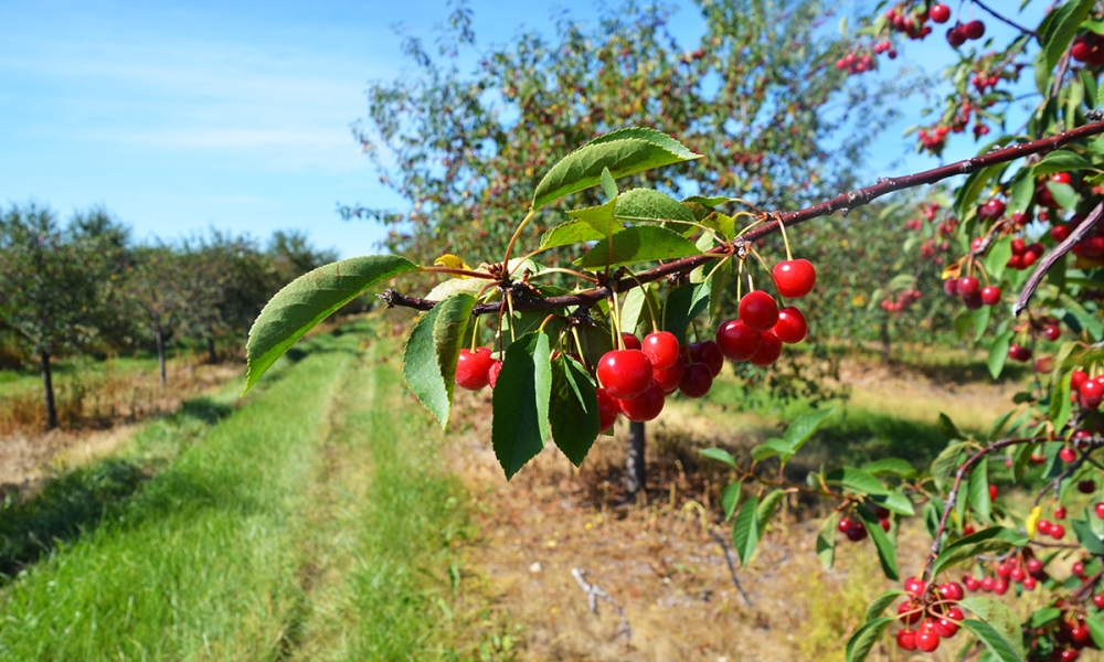 Bunches of cherries growing on the trees at Seaquist Orchards in Door County, Wisconsin.