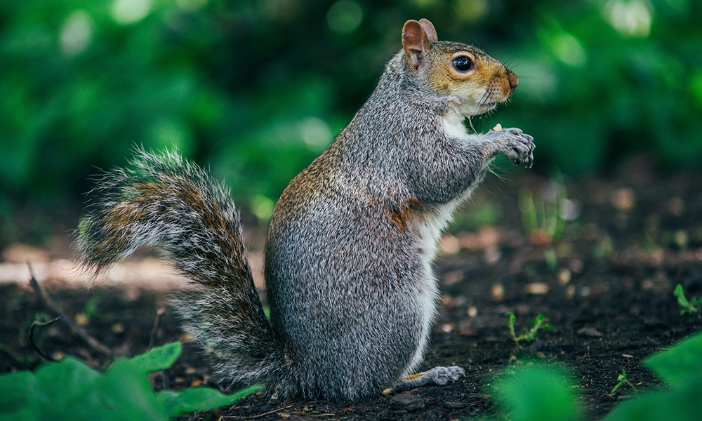 A squirrel sitting on its hinds legs eating a peanut illustrates this story featuring peanut butter recipes in honor of National Peanut Butter Day.