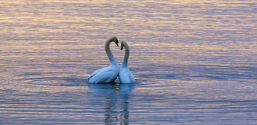 Two swans on a lake entwining necks to create a heart.