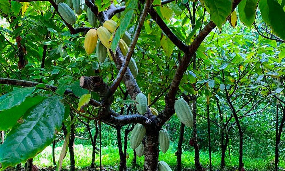 Vanilla pods growing on trees in Kaua'i Hawaii.