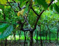 Vanilla Extract: Kaua'i Style