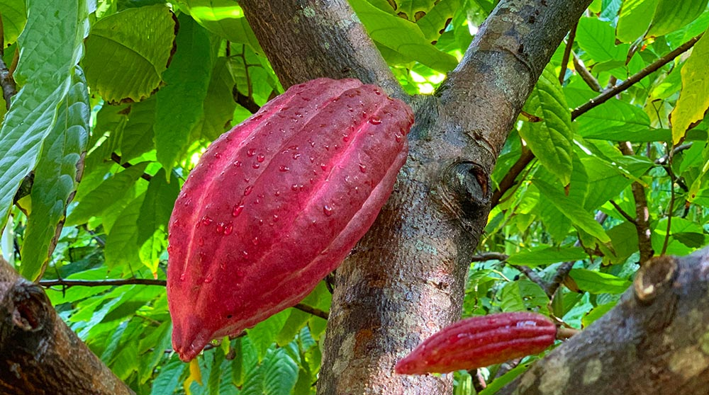 Cacao pods growing on trees in Kaua'i Hawaii.