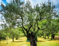 Ask the Chef: What's the Difference Between Olive Oil and EVOO?